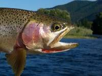 Clark Fork River Cutthroat